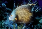 French_Angelfish