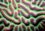 brain_coral2