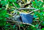 web_great_blue_heron_a