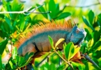 web_iguana_in_saltwater_forest_a