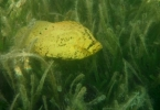 Tripletail_in_turtle_grass2