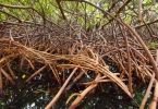 mangrove_roots