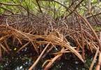 mangrove_roots