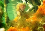 mangrove_anemone_and_sea_sponge3