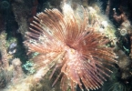 mangrove_feather_duster